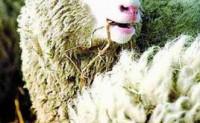 原型模式之克隆羊